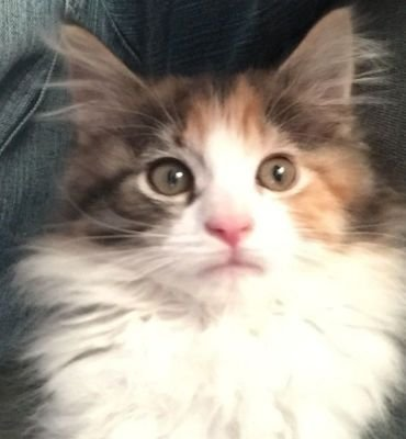 About Maine Coons
