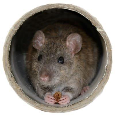 Could a cctv drain survey help solve your rat problem?