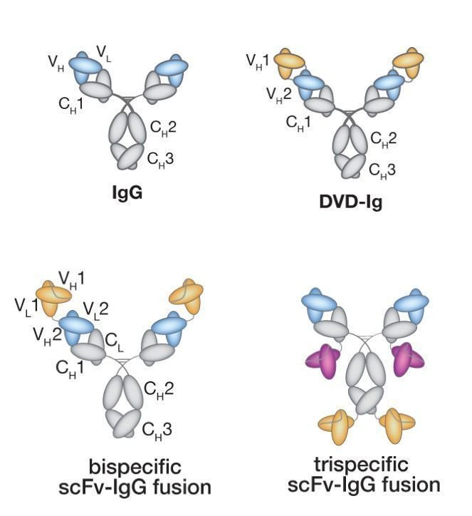 Multispecific Antibody Engineering