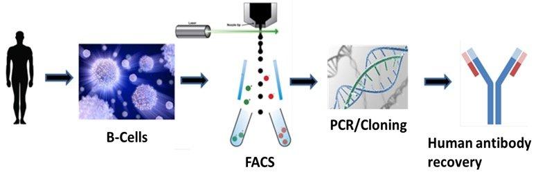 Human monoclonal antibody isolation