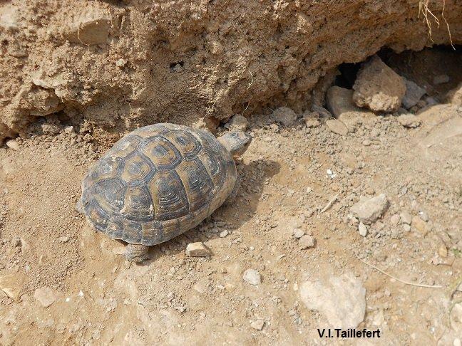 The Levantine Turtle