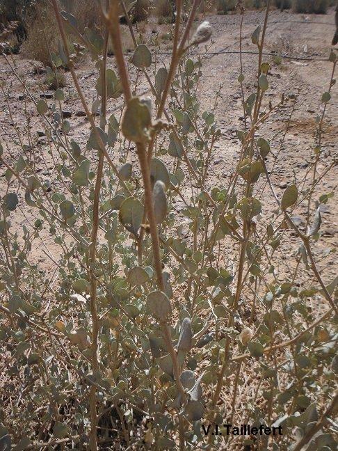 The Mediterannean Saltbush
