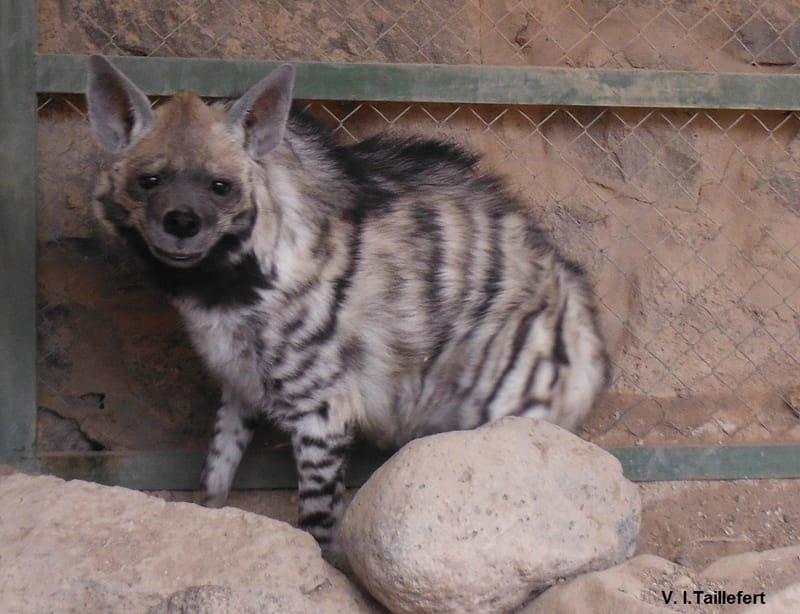 The Striped Hyena