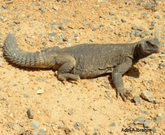The Egyptian Spiny-Tailed Lizard