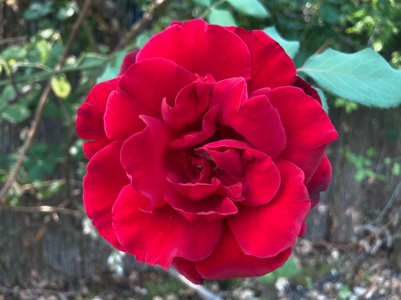 Rose Spirit Immersion