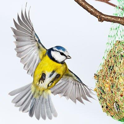 Blaumeise fliegt Fettknödel an