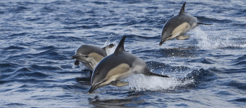 The Shannon Dolphins