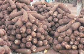 tubers of yam