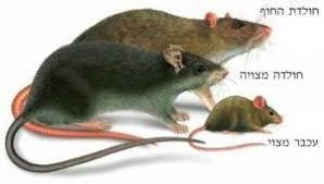 לוכד חולדות, עכברים