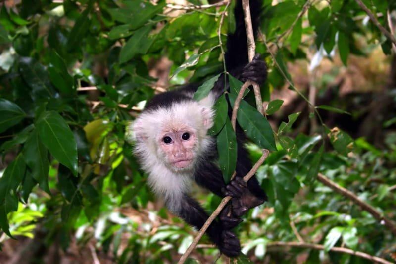 Capuchins