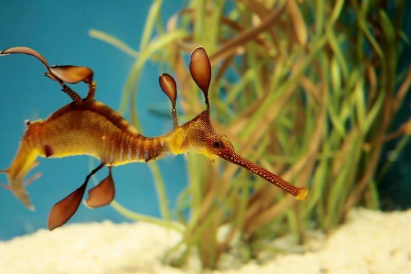 Seadragons