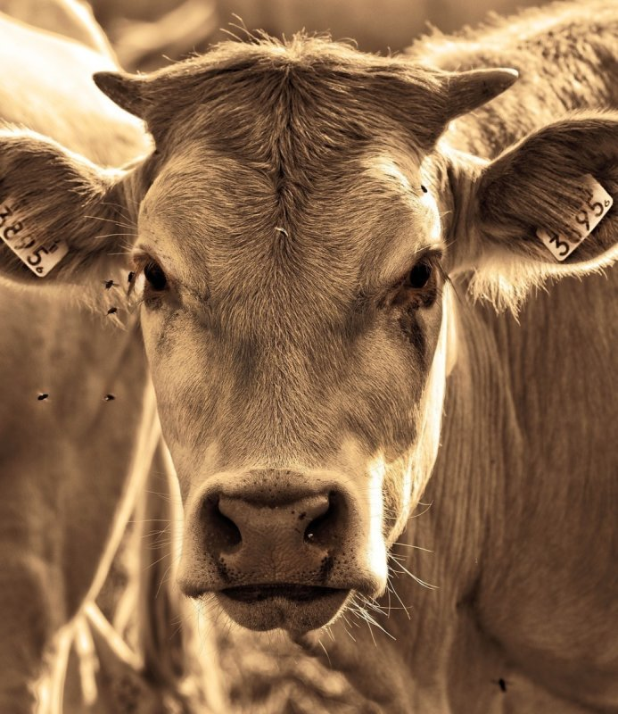 Cows & Cattle