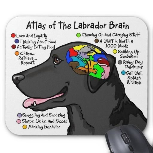8 Things To Consider Before Buying A Labrador