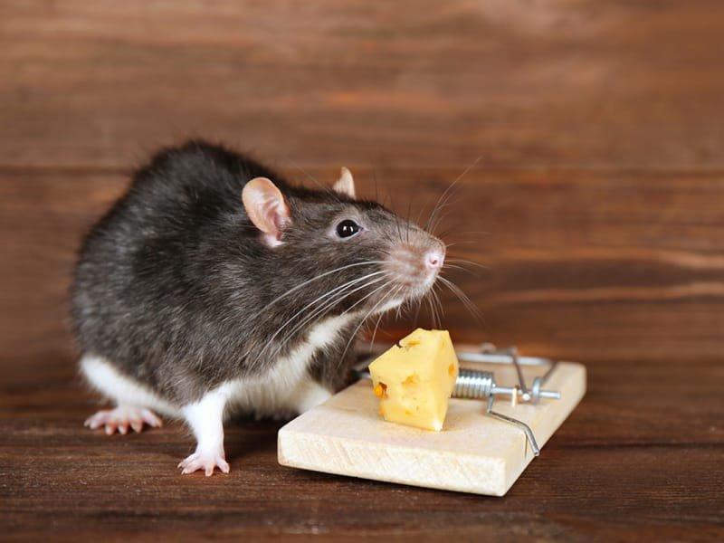 شركة مكافحة الفئران والجرزان