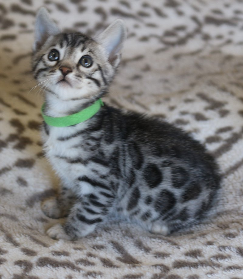 RESERVED FOR MICHAEL AND FAMILY GREEN SILVER ROSETTED MALE BORN 3/5/2021
