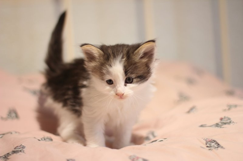 Black Tabby & White Booked