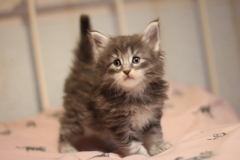 Blue Tabby Booked