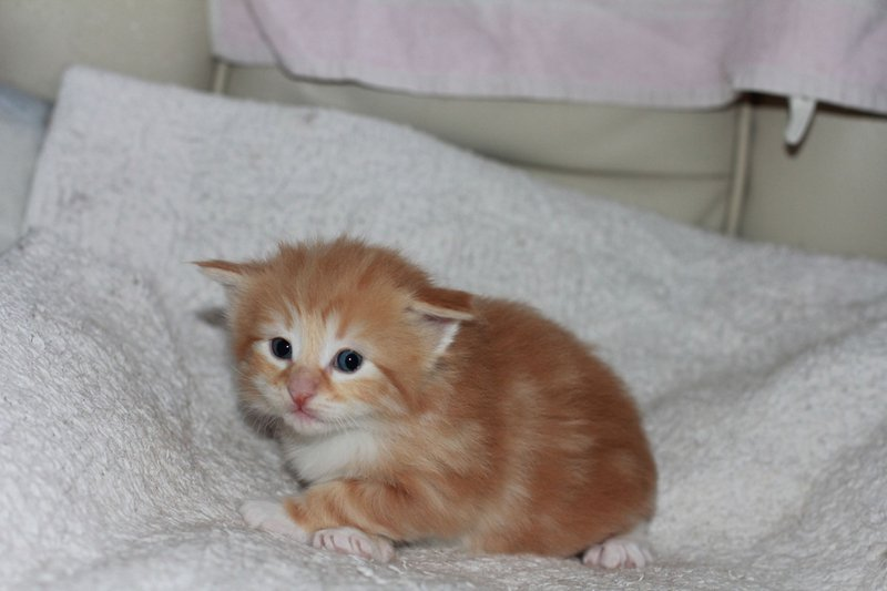 I am a Red Tabby & White Male Booked
