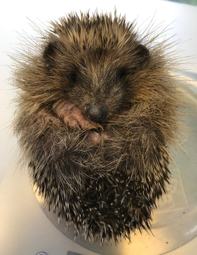 Hedgehogs needing Help