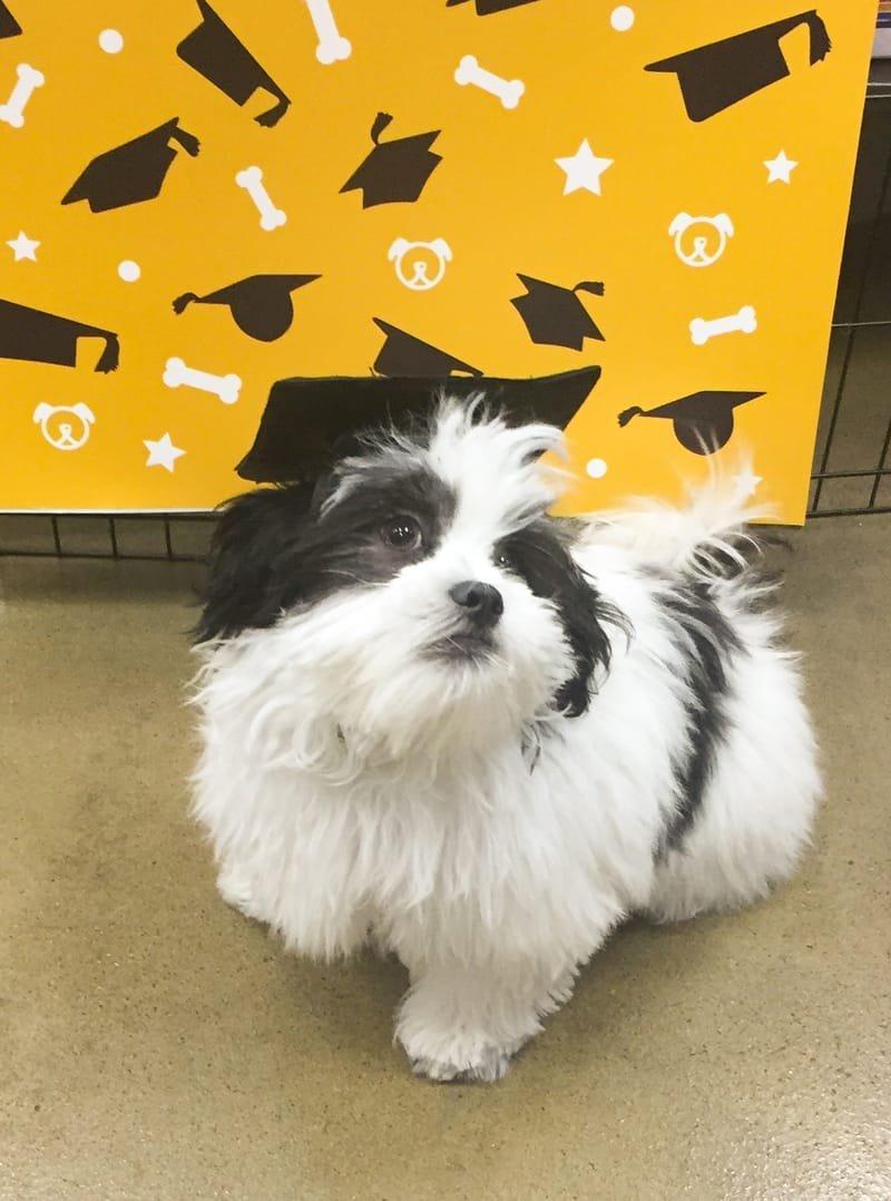 Julia's Comfort Dog in training