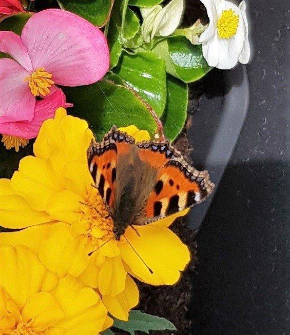 Butterflies of Woolsington Parish