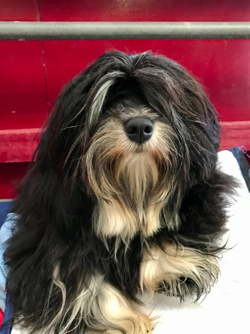 About Havanese Dog