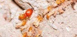 مكافحة  النمل الابيض (الرمة)