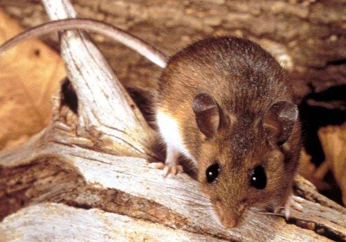 مكافحه الفئران